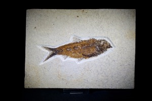 Knightia Fossil Fish, from Green River Formation, Wyoming, U.S.A. (No.622)