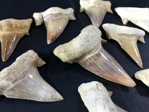 Lamna Shark Tooth, from Morocco (20)