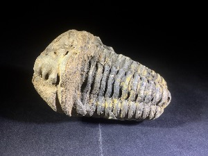 Flexicalymene Trilobite, from Morocco (No.122)