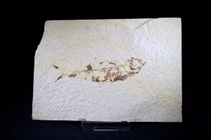 Knightia Fossil Fish, from Green River Formation, Wyoming, U.S.A. (No.140)