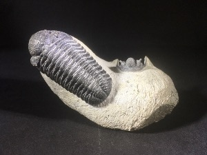 Phacops S.P & Cyphaspis Trilobite, from Morocco (No.100)