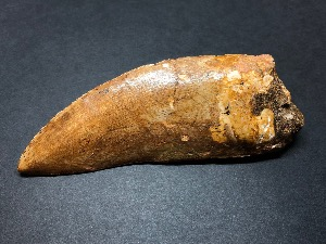 Carcharodontosaurus Tooth, from Morocco (No.4)