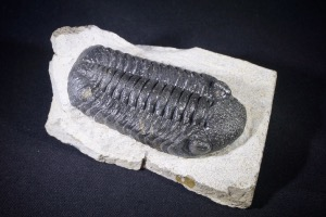Phacops S.P Trilobite, from Morocco (No.476)