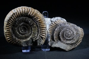 Dactylioceras Ammonite Nodule, from Whitby, England (No.15)