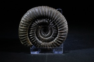 Dactylioceras Ammonite, from Whitby, England (No.92)