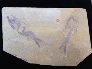 Knightia Alta Fossil Fish Pair (Specimen No. 31)