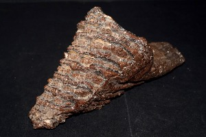 Mammoth Tooth, from North Sea Area, Ice Age (No.113)