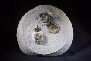 Promicroceras Ammonite Group, from Monmouth Beach, England, UK (No.35)