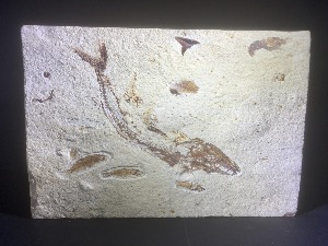 Eurypholis & Armigatus Fossil Fish Group, with Shrimp, from Lebanon (No.88)