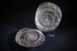 Dactylioceras Ammonite Pebble, from Whitby, Yorkshire, England (No.120)