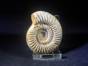 Perisphinctes Ammonite, from Madagascar (No.158)