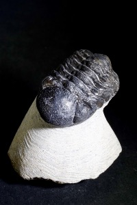 Geesops Trilobite, from Morocco (No.66)