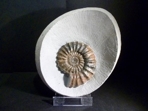 Androgynoceras Ammonite, from Monmouth Beach, Lyme Regis (No.4)