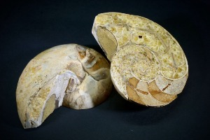 Desmoceras Ammonite Polished Pair, from Madagascar (No.112)