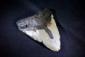 C. Megalodon Tooth, from South Carolina, U.S.A. (No.17)