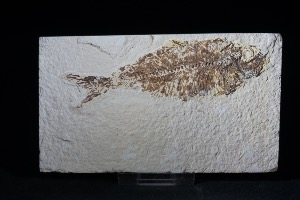 Knightia Fossil Fish, from Green River Formation, Wyoming USA (No.6)