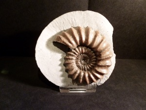 Androgynoceras Ammonite, from Monmouth Beach, Lyme Regis UK (No.3)