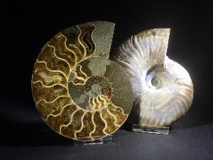 Cleoniceras Ammonite Pair, from Madagascar (No.105)