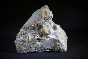 Arnioceras Ammonite, from Monmouth Beach, Lyme Regis, England (No.122)