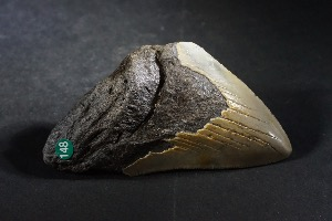 C. Megalodon Shark Tooth, from South Carolina, U.S.A. (No.148)