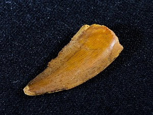 Raptor Tooth, from Kem Kem Beds, South East Morocco (No.37)