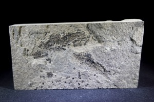 Osteolepis macrolepidotus Fossil Fish, from Orkney, Scotland (No.773)