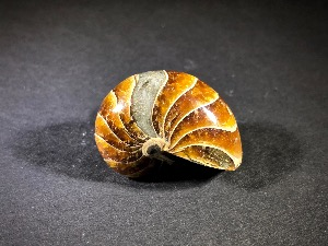 Polished Nautilus, from Madagascar (No.120)