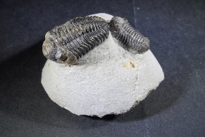 Phacops Trilobite Pair, from Morocco (No.75)