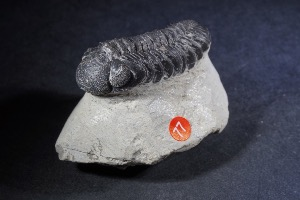 Phacops Trilobite, from Morocco (No.77)