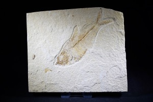 Diplomystus Fossil Fish, from Green River Formation, Wyoming, USA (No.95)