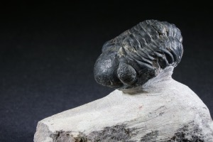 Reedops maurulas Trilobite, from Mount Atchana, Morocco (No.142)