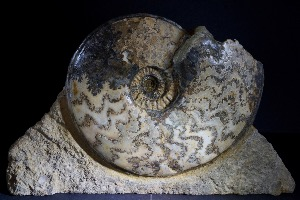 Eparietites S.P Ammonite, from Lincolnshire, England (No.33)