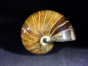 Polished Nautilus, from Madagascar (No.65)