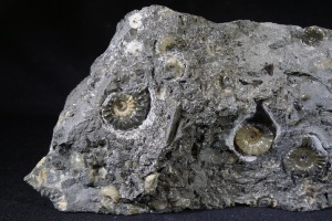 Promicroceras Ammonite Group, from Lyme Regis, England (No.9)