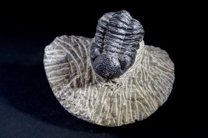 Geesops Trilobite, from Morocco (No.111)