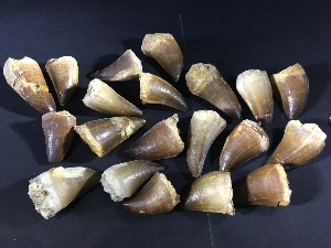 Mosasaur Tooth, from Morocco (25 Selected)